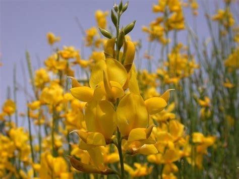 fiore di ginestra ginestra pianta piante da giardino caratteristiche