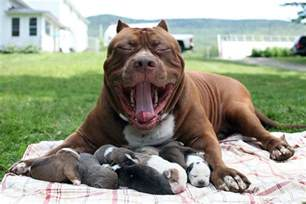 large pit world s largest pitbull hulk has 8 puppies worth up to