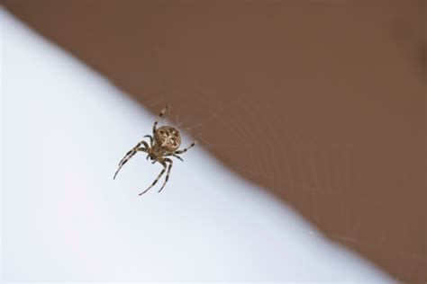 spiders in bed how to naturally get rid of brown recluse spiders hunker
