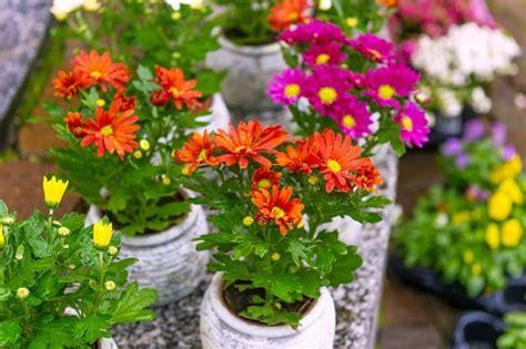 menanam  merawat bunga krisan  pot bibit