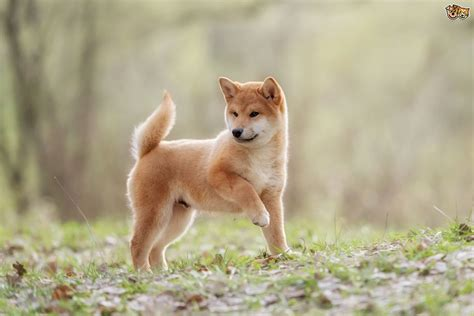 Five interesting facts about the history of the Shiba Inu
