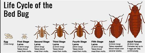 how many legs do bed bugs have bed bugs bed defense western australian declared pest