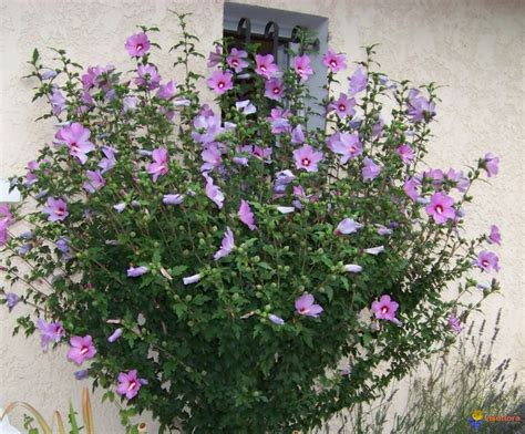 althea plant of althea hibiscus syriacus height 4 10 spacing 4 6 ft 1 2 1 8 m usda zone