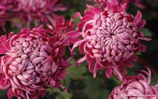 chrysanthemum pictures chrysanthemum flower pictures