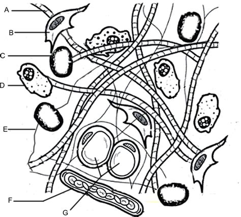 coloring pages blood answers connective tissue coloring