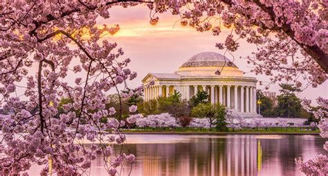 tidal basin cherry blossoms defy march freeze upout