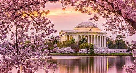 washington d c cherry trees tidal basin cherry blossoms defy march freeze upout