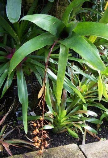 imagenes de flores extrañas plantas y flores curiosas pgina 7 foro de infojardn