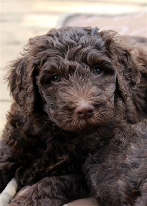 chocolate labradoodle puppies canadian chocolate labradoodles a home based labradoodle breeder of chocolate