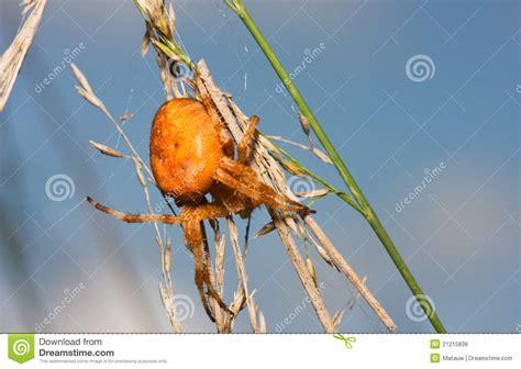 Orange Garden Spider by Orange Garden Spider Royalty Free Stock Image Image
