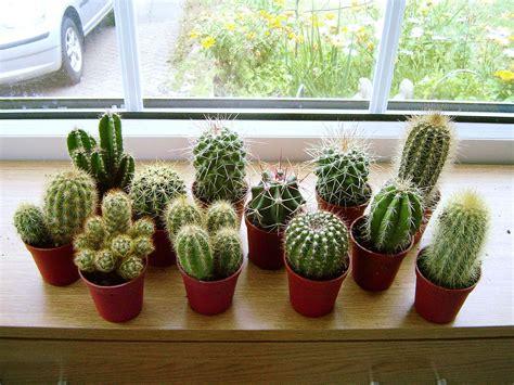 Mini Cactus 1 mini cactus succulents cacti in pot easy care evergreen foliage indoor plant ebay
