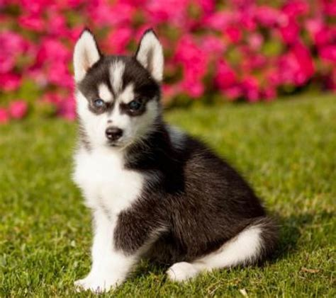 husky puppies for sale michigan markus siberian husky puppy for sale handmade michigan