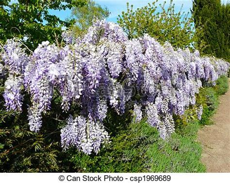 copy right free pictures of purple wisteria purple wisteria wisteria japonica growing along a fence in stock photographs search photo
