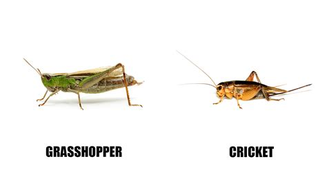 Wonderful Funny Garden #2: Cricket_vs_grasshopper.jpg