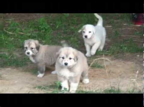 anatolian shepherd puppies craigslist great pyreneesanatolian shepherd mix puppy for sale in bloomington breeds picture