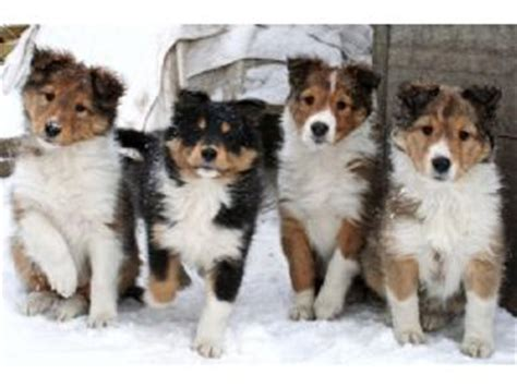 puppy finder iowa shetland sheepdog puppies in iowa
