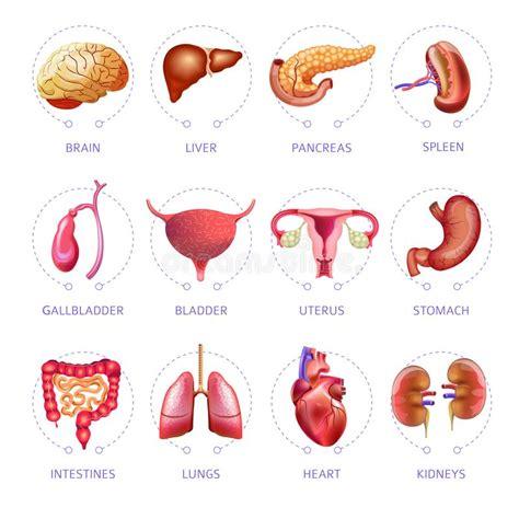 corpo umano organi interni milza icone di anatomia isolate piano medico di vettore degli