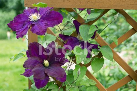 treillis clematite cl 233 matite escalade treillis photos freeimages