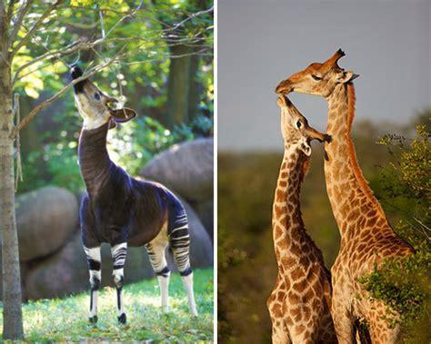 The Giraffes Cousins surprising animal cousins okapi and giraffe page 9 photos pets yahoo new zealand