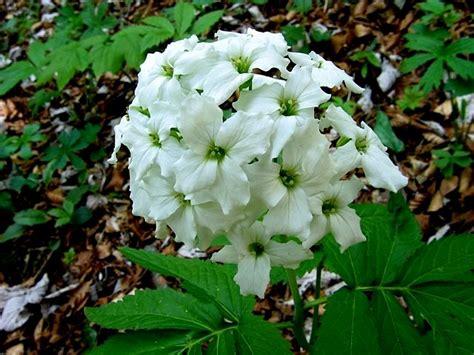tipi di fiori bianchi scheda fiori bianchi quattro petali