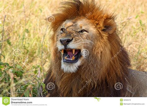 showing teeth showing teeth stock image image of carnivore 32322573