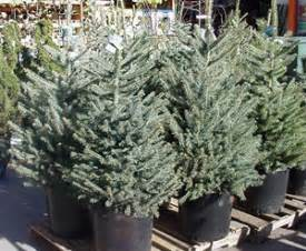 tip the planet blog 187 christmas tree recycling