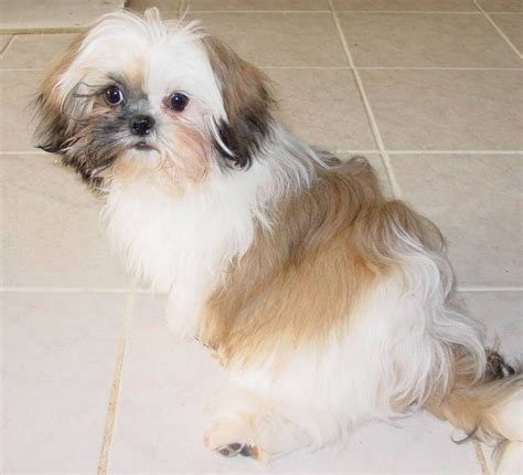 shih tzu zoo joke 17 best images about puppy cuts on foot soaks small dogs and ux ui designer