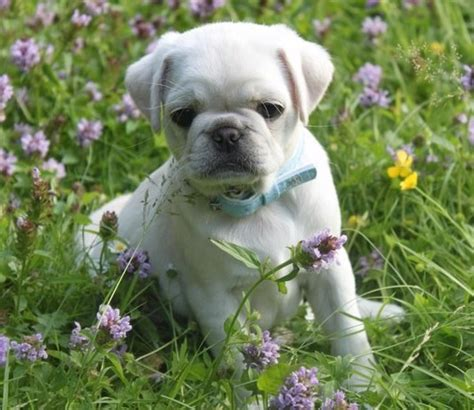 marshmellow the white pug puppy 1000 ideas about white pug on pugs pug puppies and baby pugs
