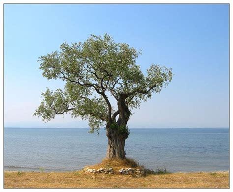 ulivo in fiore bonsai olivo bonsai come curare un bonsai di olivo