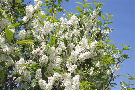 bird cherry prunus padus 171 chew valley trees