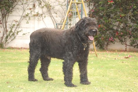 bouvier breed bouvier des flandres breed information page breeds picture