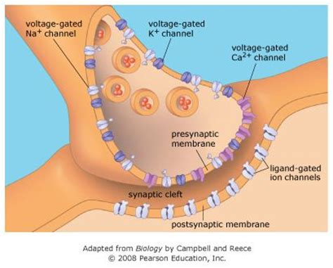 chemical synapse diagram best 25 chemical synapse ideas on nerve cells