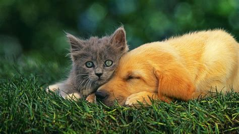 dogs and cats and cat wallpapers wallpaper cave