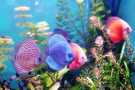 Ikan Hias Aquascape Discus Cobalt 4 jenis ikan jenis jenis ikan lele unggulan diluhur je informasi page one jenis