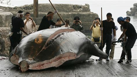 Whaling Is Still Big In Japan by Japan Kills 30 Minke Whales In Research Caign