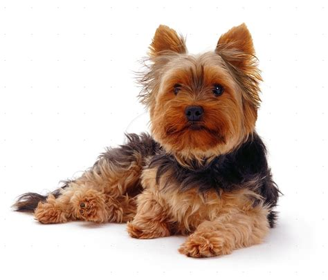 family yorkies family dogs that don t shed pets guide