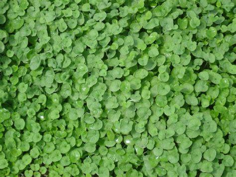 tappeto erboso tappeto erboso prato di dichondra repens