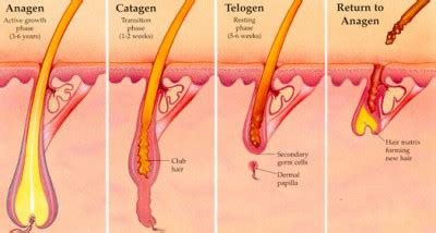 Shedding Phase Of The Hair Growth Cycle by Understanding The Difference Between Hair Shedding And