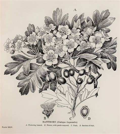 classic sketchbook botanicals secrets vintage botanical print by c f newall hawthorn may leaves flowers and berries monochrome