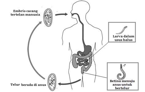 Cacing Hidup fungsi bagian tubuh nemathelminthes