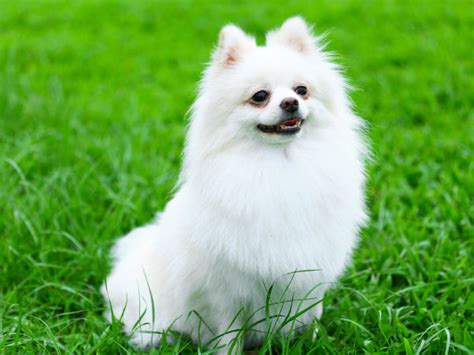 caring for a pomeranian puppy maintenance tips for a pomeranian boldsky