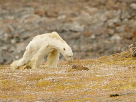 Polar Extinction Essay by Tragic Of Starving Polar Exposes Reality Of Global Warming Business Recorder