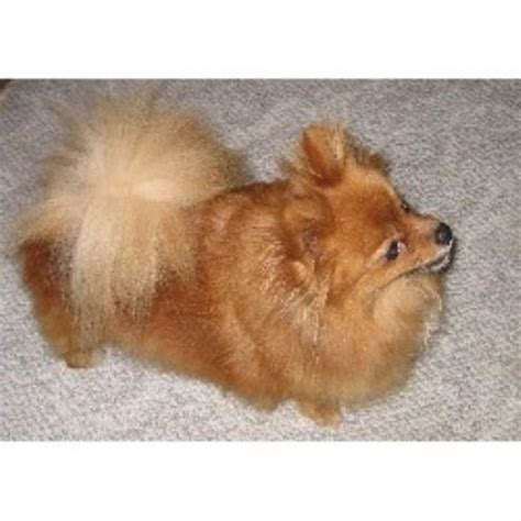 raising a pomeranian pomeranian breeders in michigan freedoglistings