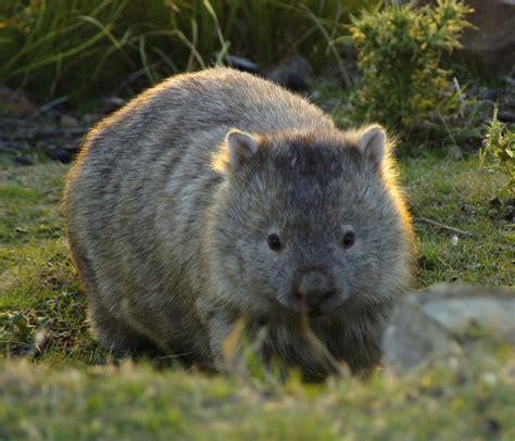 imagenes de animal wombat cradle mountain canyons