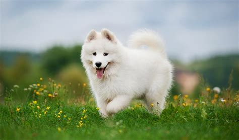 most beautiful dogs 35 most beautiful breeds in the world