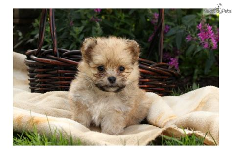 pomapoo puppies for sale near me poma poo pomapoo puppy for sale near lancaster pennsylvania 13d50509 a751