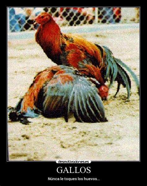 imagenes gratis de gallos con frases gallos desmotivaciones