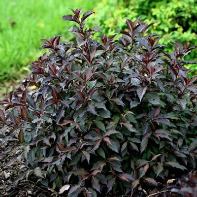 Fl Flower Lust canadiangardenjoy lust list for shrubs and a question
