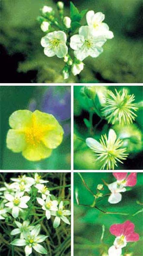 come si preparano i fiori di bach i fiori di bach