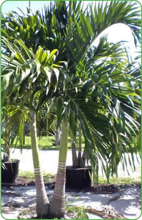 best 25 christmas palm tree ideas on pinterest palm